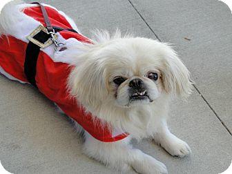 Pekingese Mix Dog for adoption in Brooksville, Florida - Billy