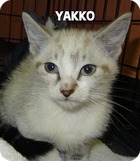 Siamese Kitten for adoption in Lapeer, Michigan - YAKKO--UNIQUE LYNX POINT
