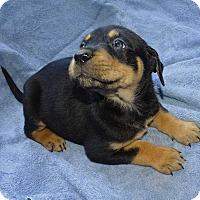 Adopt A Pet :: *Coco - PENDING - Westport, CT