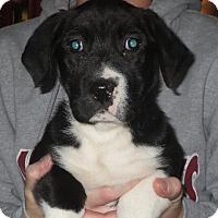 Adopt A Pet :: Lydia - Greenville, RI