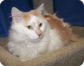 Domestic Longhair Cat for adoption in Colorado Springs, Colorado - Calvin