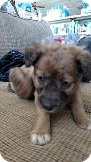 Golden Retriever Mix Puppy for adoption in Camilla, Georgia - Blondie