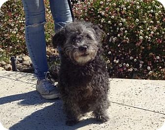 Poodle (Miniature)/Terrier (Unknown Type, Small) Mix Dog for adoption in Lathrop, California - Audrey