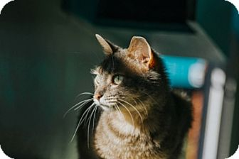 Domestic Shorthair Cat for adoption in Indianapolis, Indiana - Blossom