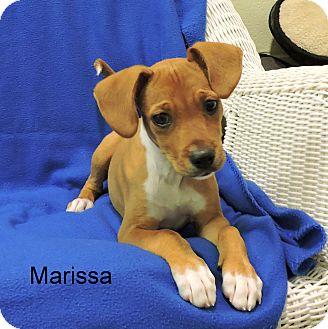 Beagle Mix Puppy for adoption in Slidell, Louisiana - Marissa