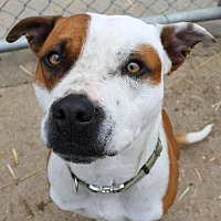 Boxer/Hound (Unknown Type) Mix Dog for adoption in Fort Madison, Iowa - Kouzy