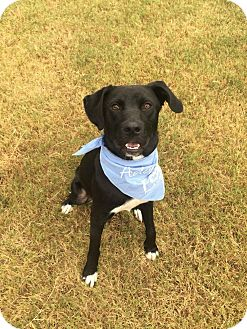 Labrador Retriever Mix Dog for adoption in Norwich, Connecticut - Bo