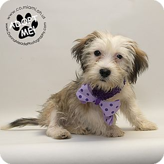 Terrier (Unknown Type, Small) Mix Puppy for adoption in Troy, Ohio - Daphne-Adoption pending