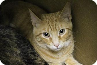 Domestic Shorthair Cat for adoption in West Des Moines, Iowa - Babe