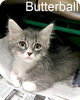 Domestic Mediumhair Kitten for adoption in Laplace, Louisiana - Butterball