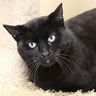 Domestic Shorthair/Domestic Shorthair Mix Cat for adoption in Morgan Hill, California - Marco