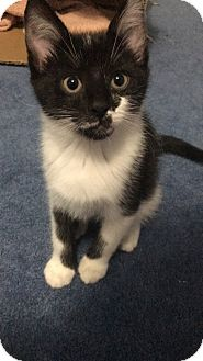 American Shorthair Kitten for adoption in Massillon, Ohio - BLAKE
