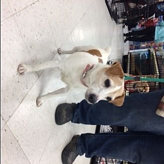 Jack Russell Terrier Dog for adoption in Stafford, Virginia - Raven