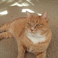 Adopt A Pet :: Scooby - Plainville, MA