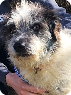 Wheaten Terrier/Schnauzer (Miniature) Mix Dog for adoption in Oswego, Illinois - Waverly