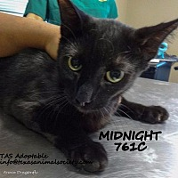 Adopt A Pet :: Midnight - Spring, TX