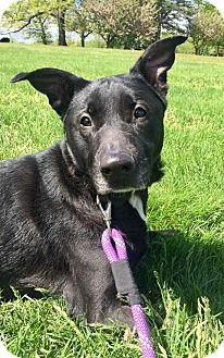 Labrador Retriever/German Shepherd Dog Mix Dog for adoption in Bloomfield, New Jersey - Phoenix