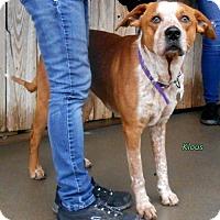 Adopt A Pet :: Klaus - Oskaloosa, IA