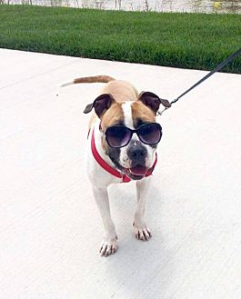 Boxer/American Pit Bull Terrier Mix Dog for adoption in Columbus, Ohio - Christopher (Foster or Adopt)