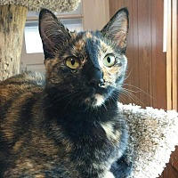 Domestic Shorthair Cat for adoption in Frankfort, Illinois - Tammi - At Adoption Center