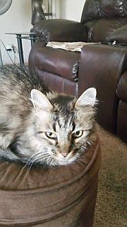 American Shorthair Cat for adoption in Glendale, Arizona - Tabitha