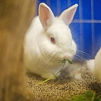 Adopt A Pet :: Snowy - Port Coquitlam, BC