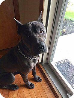 Cane Corso Dog for adoption in Columbus, Ohio - Sky