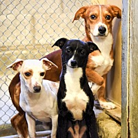 Adopt A Pet :: Bismark - Las Vegas, NV