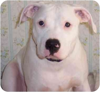 American Pit Bull Terrier/American Bulldog Mix Puppy for adoption in Baltimore, Maryland - Isis
