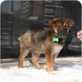 German Shepherd Dog Mix Puppy for adoption in Denver, Colorado - Hazel