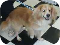Golden Retriever/King Charles Spaniel Mix Dog for adoption in Salem, New Hampshire - Charlie
