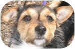 Jack Russell Terrier/Dachshund Mix Dog for adoption in Eatontown, New Jersey - Shorty
