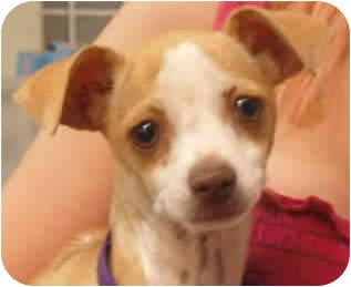 Chihuahua Dog for adoption in Reno, Nevada - Eevee