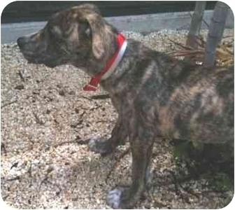 Boxer/Labrador Retriever Mix Puppy for adoption in Homestead, Florida - Doozer