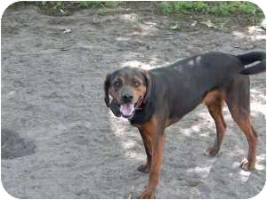 Hound (Unknown Type) Mix Dog for adoption in Rocky Mount, North Carolina - George