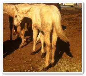 Quarterhorse Mix for adoption in Sac, California - Sandy