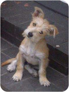 Terrier (Unknown Type, Small) Mix Dog for adoption in Studio City, California - Shaggy