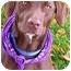 Photo 1 - Labrador Retriever/German Shorthaired Pointer Mix Dog for adoption in Sacramento, California - Gunner best companion, tv budd