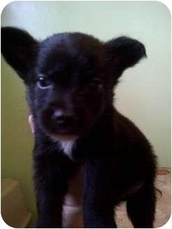 "Border Collie/Labrador Retriever Mix Puppy for adoption in Baltimore, Maryland - Rudolph ""Rudy"""