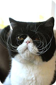 Exotic Cat for adoption in Columbus, Ohio - Buckeye