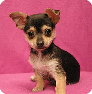 Chihuahua Mix Puppy for adoption in Sacramento, California - Wiggles