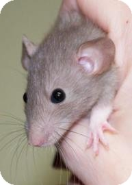 Rat for adoption in West Des Moines, Iowa - Baby Rat 4