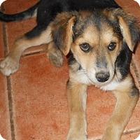 Adopt A Pet :: Candi - dewey, AZ