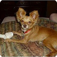 Adopt A Pet :: Nacho - Rigaud, QC