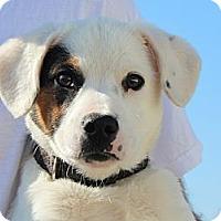 Adopt A Pet :: Opie - Brattleboro, VT