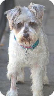 Schnauzer (Miniature) Mix Dog for adoption in Allentown, Pennsylvania - Reggie-Parti Schnauzer