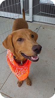 Shepherd (Unknown Type)/Retriever (Unknown Type) Mix Dog for adoption in Eustace, Texas - Beau