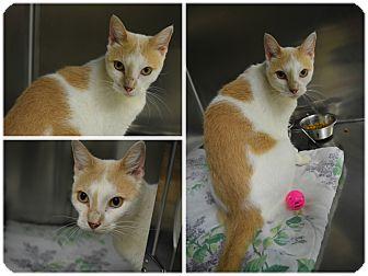 Domestic Shorthair Cat for adoption in Petersburg, Virginia - Tanner