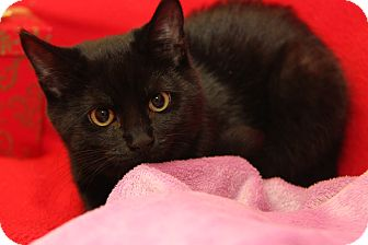 Domestic Shorthair Kitten for adoption in Marietta, Ohio - Pandora (Spayed)