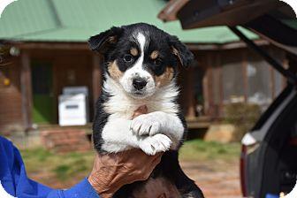 Australian Shepherd/Border Collie Mix Puppy for adoption in Groton, Massachusetts - Petra